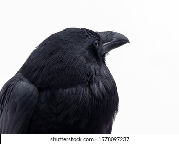 Close-up portrait of a black raven on a white background.