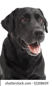close-up portrait of black Retriever Labrador dog in studio isolated