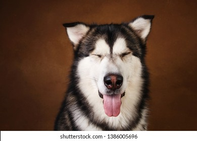 Close-up portrait of black and white alaskan malamute breed dog sitting in studio on brown blackground and looking at camera. Place for text. Copy space