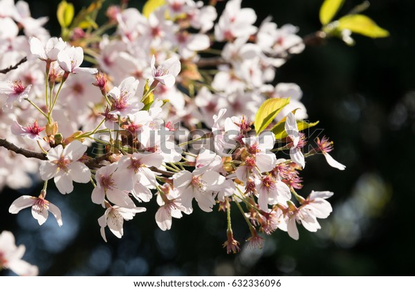 close-up portrait of the blossoming of a japanese flowering cherry, one of the first springtime blossoming plants in germany