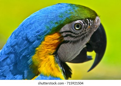 Closeup portrait of a Blue and Gold Macaw in the Amazon Jungle of Brazil