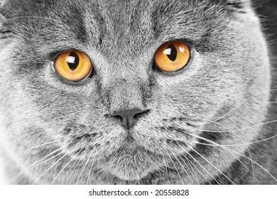 Close-up portrait of a british cat