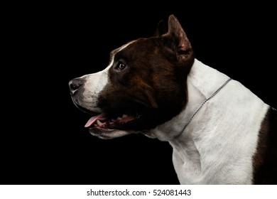 Close-up portrait of brown dog american staffordshire terrier breed with cutting ears looks alert on isolated black background, profile view