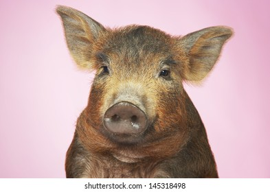 Closeup portrait of a brown pig against pink background