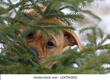 Close-up portrait of brown three months old Ca de Bou (Mallorquin Mastiff) female puppy dog