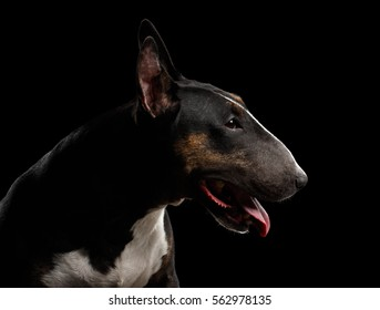 Close-up portrait of Bull Terrier in profile on isolated black background