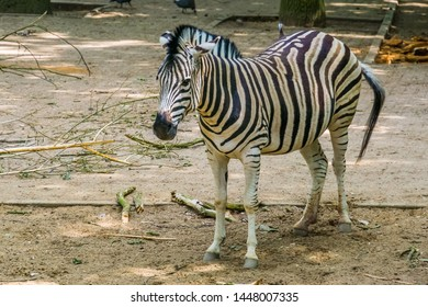 closeup portrait of a burchells zebra, Common tropical horse specie from Africa