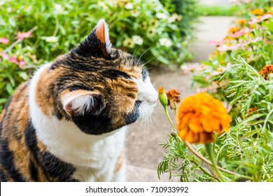 Closeup portrait of calico cat outside smelling sniffing orange marigold flowers in summer garden on porch of home or house