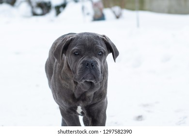 Closeup portrait of cane corso puppy six month in winter outdoor