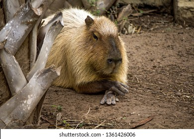 Closeup Portrait of a Capybara at the Gladys Porter Zoo, Brownsville, Texas