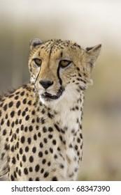 Close-up portrait of Cheetah; Acinonyx jubatus; South Africa