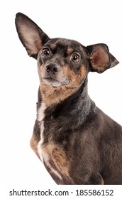 Close-up portrait of a chihuahua dog on a white background