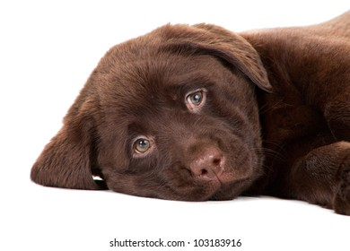 Close-up portrait of Chocolate Retriever puppy, 20 weeks old, lying in front of isolated white background