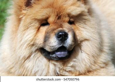close-up portrait of a  chow chow dog