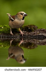 Close-up, portrait of  Coccothraustes coccothraustes bathing in forest pond, sitting water against  mossy bark green background. Female of Hawfinch, songbird with huge beak mirroring in water. Hungary