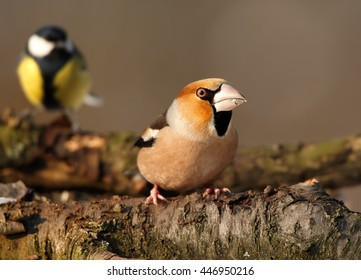 Close-up, portrait of  Coccothraustes coccothraustes sitting on mossy branch with Great tit in background. Colorful male of Hawfinch, songbird with huge beak from front view. Winter, Europe.