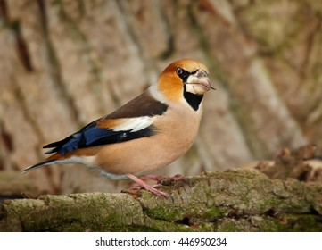 Close-up, portrait of  Coccothraustes coccothraustes sitting on  mossy branch against tree bark background. Colorful male of Hawfinch, songbird with huge beak from side view. Winter, Europe.