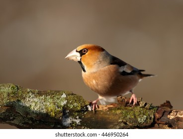 Close-up, portrait of  Coccothraustes coccothraustes sitting on the mossy branch against abstract background. Isolated colorful Hawfinch,male,songbird with huge beak from front view. Winter, Europe.
