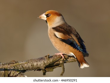 Close-up, portrait of  Coccothraustes coccothraustes sitting on the end of branch against abstract background. Colorful Hawfinch, isolated male with huge beak from side view. Winter, Europe Czech