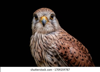 Close-up portrait of a common kestrel (Falco tinnunculus) isolated on black background. Majestic bird of prey with brown red plumage looking at camera