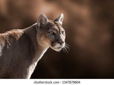 A closeup portrait of a cougar.