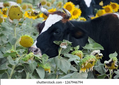 Closeup Portrait of cow in the field of sunflowers