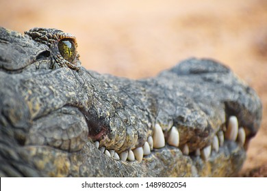 Close-up portrait of crocodile caiman or cayman with selective focus on green eye. Crocodile green eyes looking at you. Close-up view of dangerous reptile animal with large teethes. Africa, 2019.