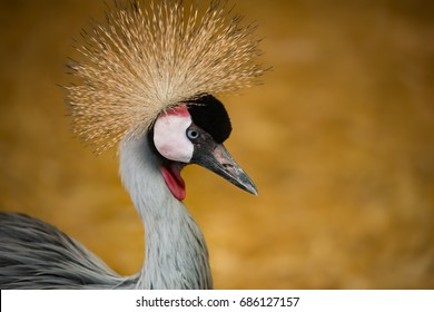 Closeup portrait of Crowned Crane