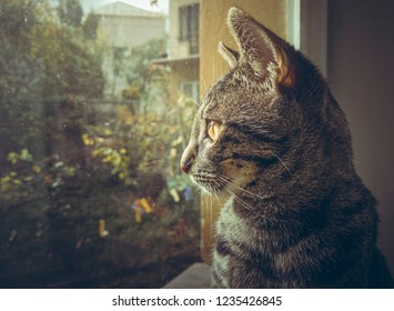 Closeup portrait of a curious grey tabby European cat looking outside through the window.