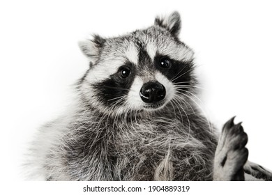 Close-up portrait of cute adorable raccoon posing isolated on white background.
