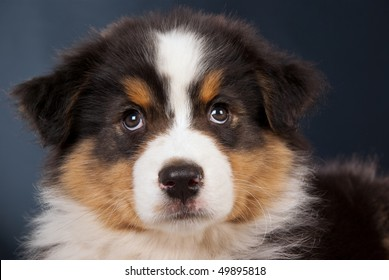 Closeup portrait of cute Australian Shepherd puppy on black background