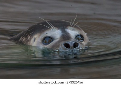 Closeup portrait of a cute baby seal swimming in its habitat