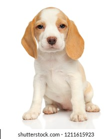 Close-up portrait of a Cute Beagle puppy on white background