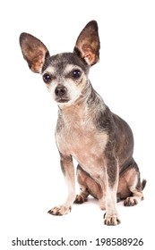 Closeup portrait of cute chihuahua dog isolated on white background