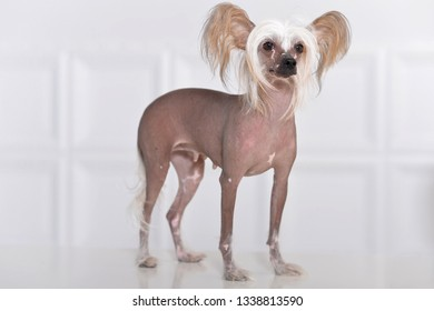 Close-up portrait of cute chinese crested dog on background
