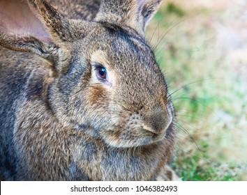 Close-Up : Portrait Of Cute Flemish Giant Rabbit In Garden
