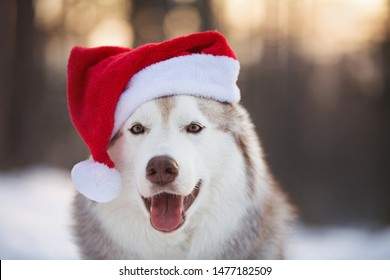Close-up Portrait of cute, funny and happy Siberian Husky dog with closed eyes sitting in the winter fairy forest and wearing red christmas santa claus hat at golden sunset