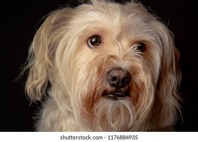Close-up portrait of a cute little brown dog