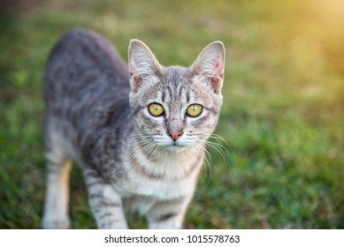 Close-up portrait of a cute little gray cat looking at the camera. Take a relaxing stroll on the green lawn in the garden. Blurry Sunset Blur