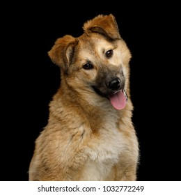 Closeup Portrait of Cute Mongrel Dog with turned head, Curious Looking in Camera, Isolated on Black Background