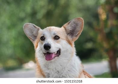 closeup portrait of cute red funny dog welsh corgi pembroke