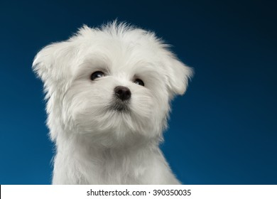 Closeup Portrait of  Cute White Maltese Puppy Looking up isolated on blue background