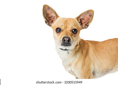 Closeup portrait of a cute young Chihuahua breed dog standing to the side over white with copy space