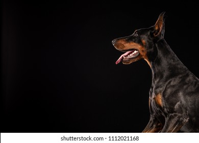 Closeup portrait of Doberman Pinscher Dog Looking in Camera on Black background