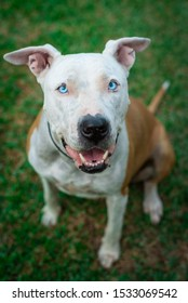 Close-up portrait dog with blue eyes. Pitbull - american stanford dog. Lovely dog. Dog sitting down in grass. Happy pet.