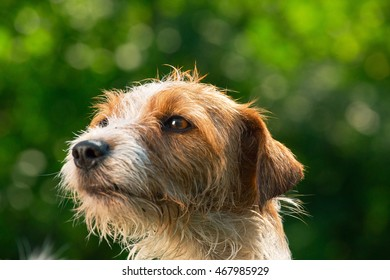 Close-up portrait of dog breed Jack Russell Terrier on a green background.