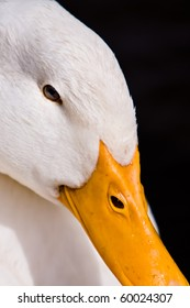 Close-up portrait of a domestic white duck on a black background