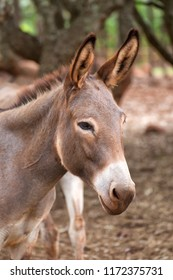 Closeup portrait of a donkey on the Atherton Tableland in Queensland, Australia. The Donkey is not an animal natural to Australia.