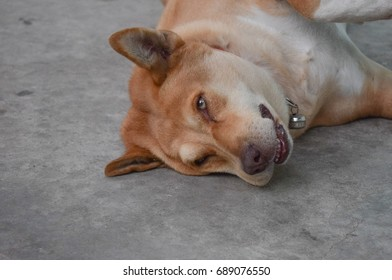 Close-up portrait of dreaming the fat dog lying on cement floor with smiling eyes, Because it's sweet dream.