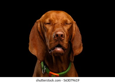 Close-up Portrait of dreaming Hungarian Vizsla Dog with closed Eyes on isolated black background